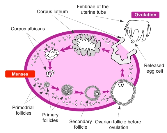 WHAT IS OVULATION