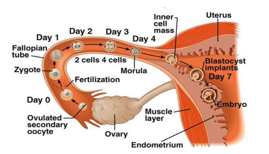 What is FERTILIZATION
