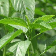 Health Benefits of Ewedu[Jute leaf]
