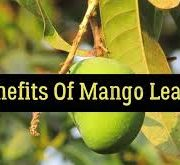 Health benefits of mango leaves